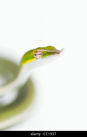 Ahaetulla nasuta . Juvenile Green vine snake on white background - Stock Image