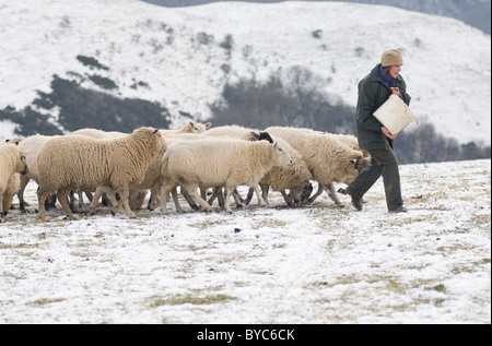 Shepherdess feeding her sheep on Ecton Hill Peak District National Park - Stock Image