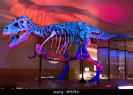 Fossil skeleton of the famous 'Sue' the T. Rex in display under colorful lighting. The Field Museum. Chicago, Illinois, USA. - Stock Image
