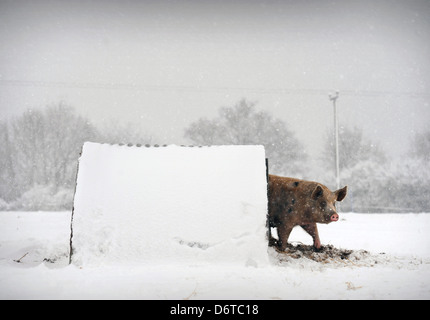 Cold pork - a Gloucester Old Spot pig on a farm near Nympsfield, Gloucestershire UK - Stock Image