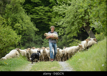 Shepherd with a flock of sheep following him, carrying a hurt lamb. - Stock Image