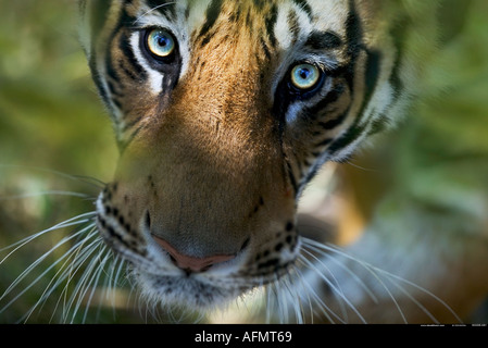 Bengal Tiger looking up Bandhavgarh India - Stock Image