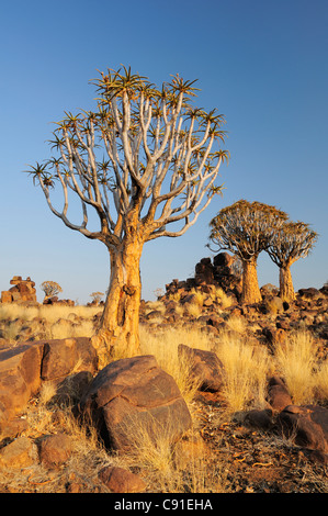 Quiver tree in quiver tree forest, Aloe dichotoma, Quiver tree forest, Keetmanshoop, Namibia - Stock Image