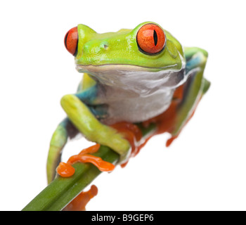 Red eyed Tree Frog Agalychnis callidryas in front of a white background - Stock Image