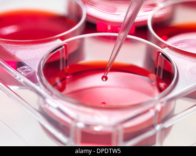 Pipette adding sample to stem cell cultures growing in pots, Used to implant stem cells to repair damaged tissues - Stock Image