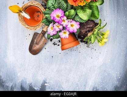 Spring flowers potting with garden tools, pots and soil, on gray wooden table , top view, - Stock Image
