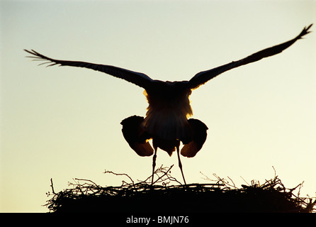Mating storks - Stock Image