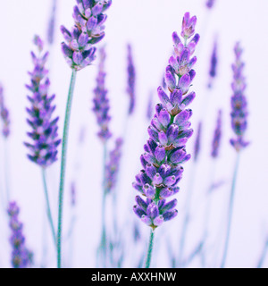 Lavender, Lavandula, Purple flowers on stems. - Stock Image