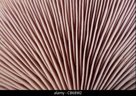 Russula cyanoxantha gill structure mushroom  basidiomycete - Stock Image