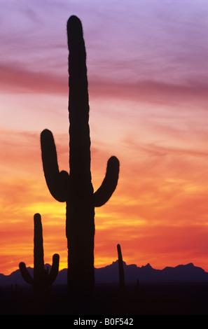 Saguaro cactus against dramatic sunset sky, Saguaro National Park, Arizona  USA - Stock Image