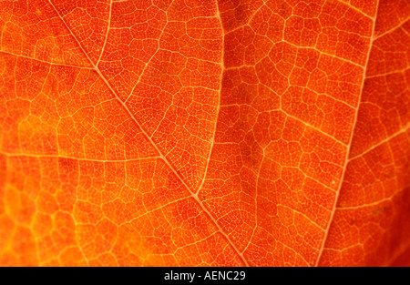 Closeup of Orange Leaf - Stock Image