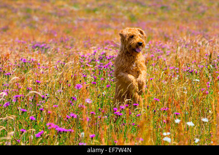 Terrier dog standing on hind legs in wildflower meadow - Stock Image
