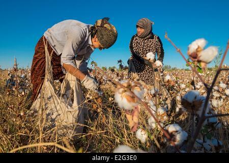 Uzbekistan Silk Road Khorezm Province women picking cotton (Gossypium Sp.) - Stock Image
