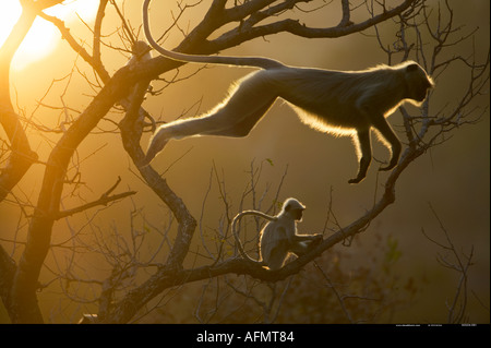 Hanuman Langur leaping through the treetops Bandhavgarh India - Stock Image