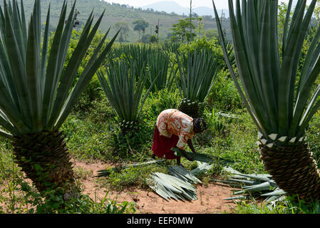 TANZANIA, Tanga, Korogwe, Sisal plantation in Kwalukonge, farm worker harvest sisal leaves which are used for ropes - Stock Image