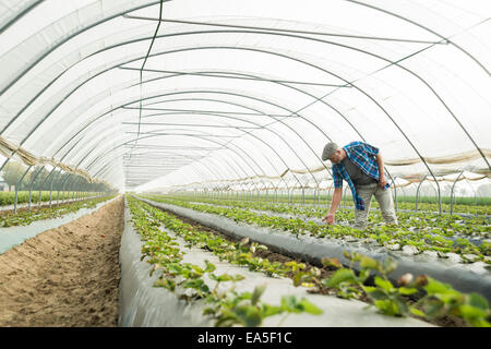 Farmer looking at plants in a greenhouse - Stock Image