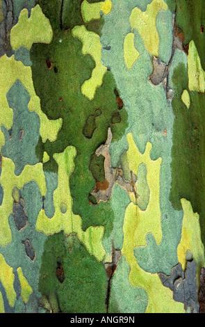 Sycamore bark detail, London, Ontario, Canada. - Stock Image