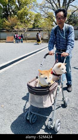 A Japanese man pushing a stroller with his Shiba Inu dogs. - Stock Image
