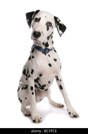 Dalmatian. Adult dog sitting. Studio picture against a white background - Stock Image