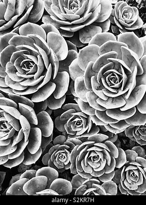 Succulents in black and white - Stock Image
