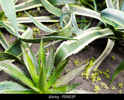Closeup of an Aloe Vera plants growing in a natural botany garden - Stock Image