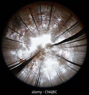 Fisheye view of autumn forest in mist - Stock Image