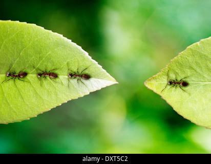 Ant stranded on leaf - Stock Image