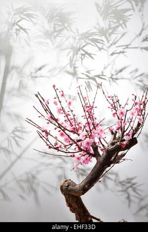The plum blossom - Stock Image