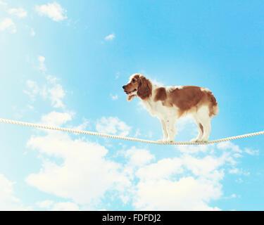 Image of spaniel dog balancing on rope - Stock Image