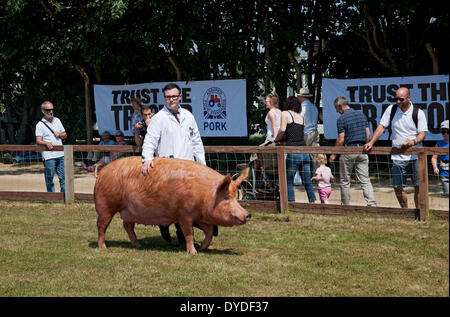 Tamworth pig being judged at the Great Yorkshire Show. - Stock Image