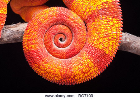 Coiled tail of a Panther Chameleon, Furcifer pardalis, Ambilobe, Madagascar - Stock Image