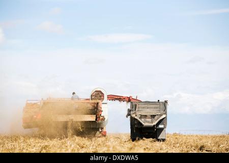 Potato harvest, Colorado, USA - Stock Image