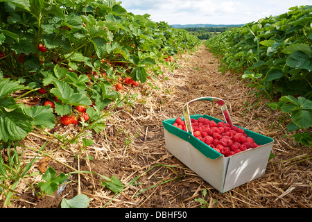 Ripe fresh strawberries growing at a fruit farm - Stock Image