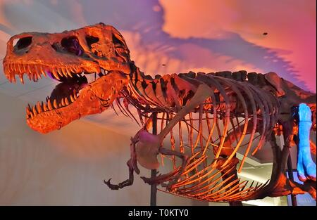 CHICAGO, IL -7 FEB 2019- View of the Field Museum of Natural History (FMNH), a large natural history museum containing the skeleton of the Tyrannosaur - Stock Image