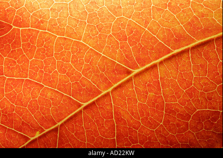 Macro of a colored leaf in fall - Stock Image