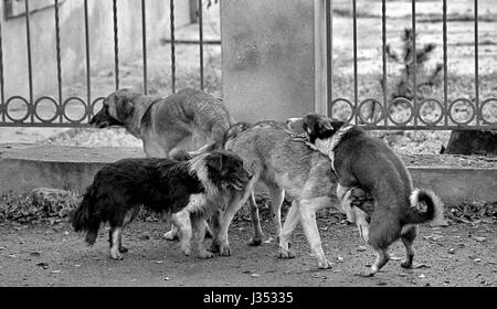 Mating of dogs. A black and white grainy image shot on film. Mat - Stock Image