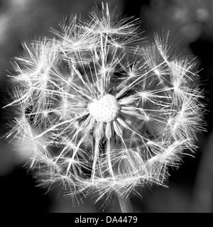 Dandelion Seedhead [Taraxacum officinale] - Stock Image