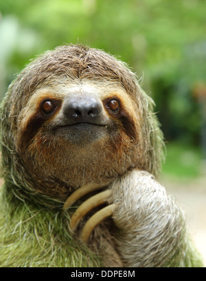 Closeup of a three-toed sloth, Costa Rica - Stock Image