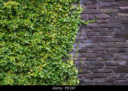 Green Ivy growing on a purple slate wall in an abandoned Welsh quarry. - Stock Image