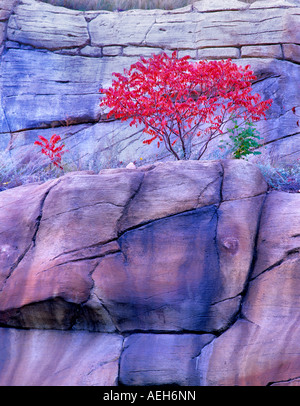 Fall colored sumac Red Rock Secret Mountain Wilderness Arizona - Stock Image