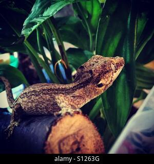 Baby gecko - Stock Image