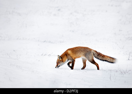 Hunting Red fox (Vulpes vulpes) following scent trail by prey in snow covered grassland in winter - Stock Image