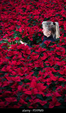 Manschnow, Germany. 10th Nov, 2015. Gardener Jeannette Rohde of the Fontana horticulture GmbH works in a greenhouse - Stock Image