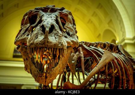 Sue the T. Rex, Tyrannosaurus Rex skeleton, the field museum, Chicago - Stock Image