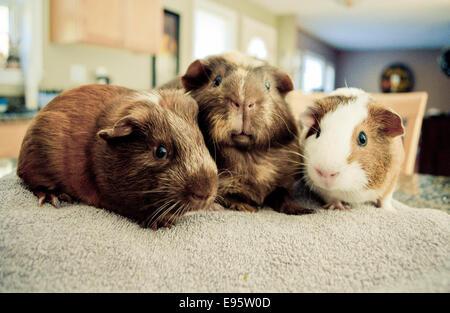 Guinea pigs close up. - Stock Image