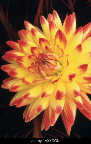 Dahlia 'Bridgeview Aloha', Yellow and red flower. - Stock Image