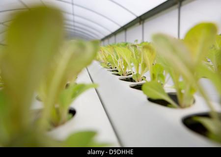 Lettuce leaves growing in nursery - Stock Image