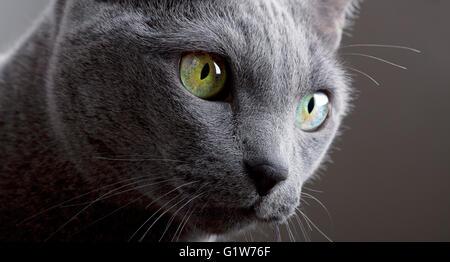 Russian Blue Cat Portrait - Stock Image