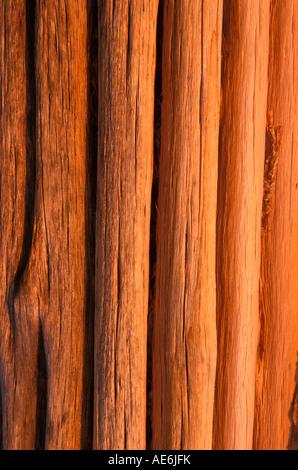 Saguaro Ribs in afternoon light, Arizona - Stock Image
