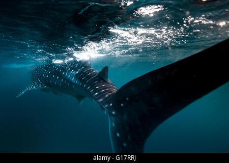 Whale Shark (Rhincodon typus) swimming in the deep water off Malapascua Island, Cebu, Philippines - Stock Image